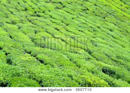 Green Tea Plantation In Cameron Highlands, Malaysia