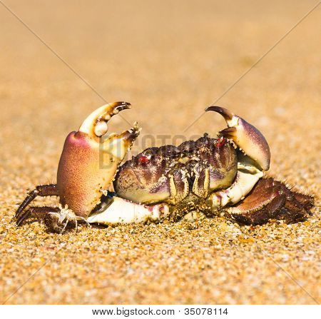 Funny Crab Cute Animal