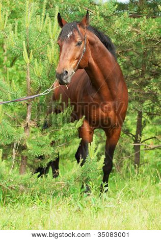Beautiful Trakehner Stallion In The Pine Forest