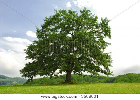 Oak On Green Hill