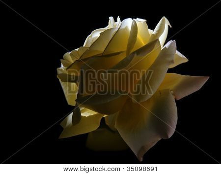 Giant yellow rose
