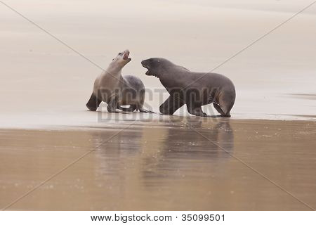 Rough courtship of male and female Hookers sealions