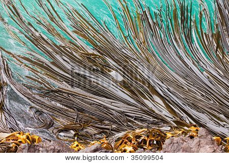Bull Kelp blades on surface background texture