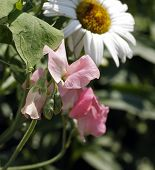 foto of sweetpea  - Light pink sweetpeas with white daisy in background - JPG