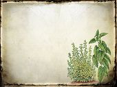stock photo of catnip  - Old paper or parchment neutral background with green catnip plants at lower right - JPG