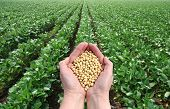 image of soybeans  - Human hand holding soybean with field in background - JPG