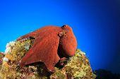 Постер, плакат: Большой красный риф Осьминог Осьминог cyaneus