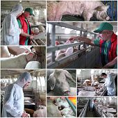 foto of animal husbandry  - Collage of photographs showing intensive pig farming - JPG
