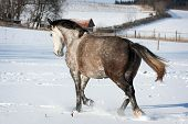 pic of shire horse  - Horse in winter - JPG