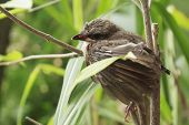 foto of bulbul  - Young bulbul bird while flight feathers grow before leaning to fly - JPG