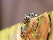 two black ants taunting a leaf hopper