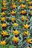 foto of tillandsia  - The yellow flowers guzmania beautiful green leaves - JPG