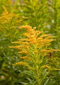 image of goldenrod  - Goldenrod growing in the wild - JPG