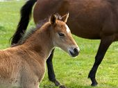 foto of fillies  - Brown Horse and its foal or filly in a meadow - JPG