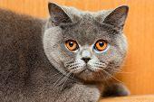 Feline animal pet british domestic cat looking eye poster