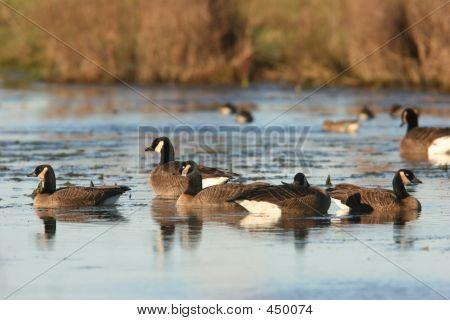 Canada Goose Flock