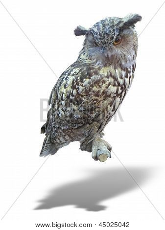 Great Horned Owl, Bubo Virginianus Subarcticus, Isolated Over White