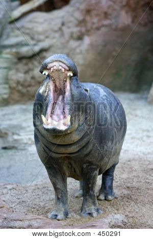 Captive Hippopotamus Yawning Or Roaring In A Spanish Zoo