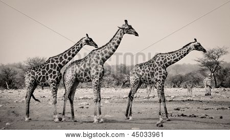 Three giraffes in sepia