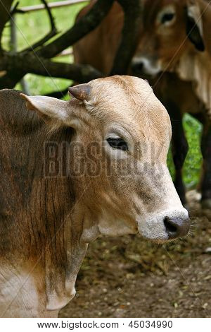 Photo of Confined bull