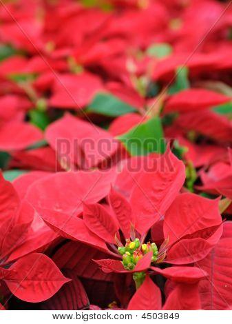 Flores rojo flor de Pascua