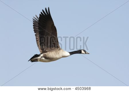 Canada Goose (branta Canadensis) In Flight