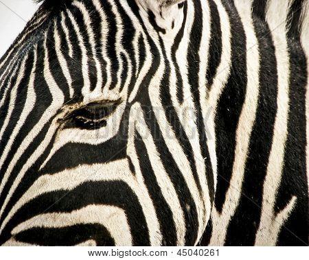 Close up of zebra head