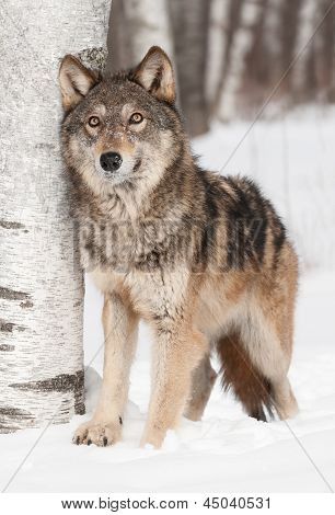 Grey Wolf (Canis lupus) Next To Birch Looks Up