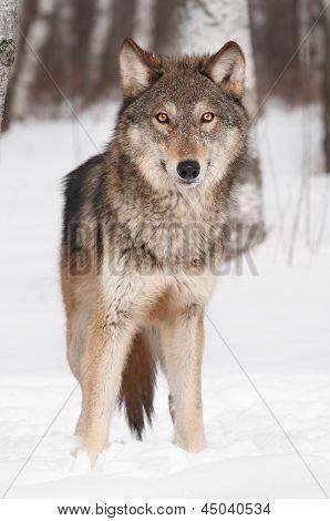 Grey Wolf (Canis lupus) Alert