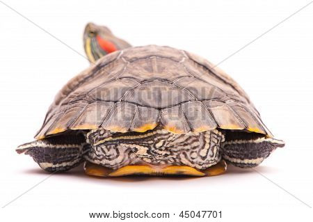 One Pond Slider Isolated On The White Background
