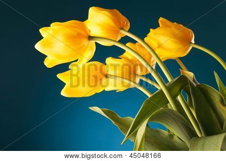 back of a gorgeous bouquet of yellow tulips on blue background