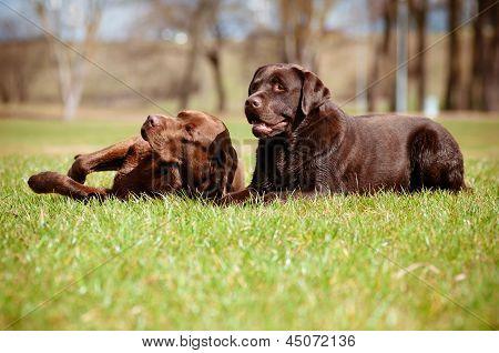 two brown labrador retriever dogs