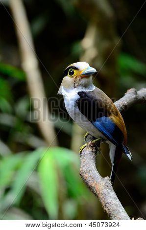 Female Silver-breasted Broadbill (serilophus Lunatus)