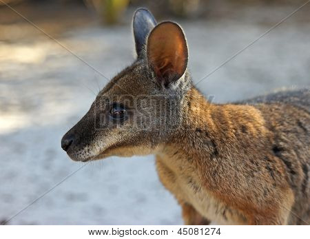 Tammar Wallaby, Australia
