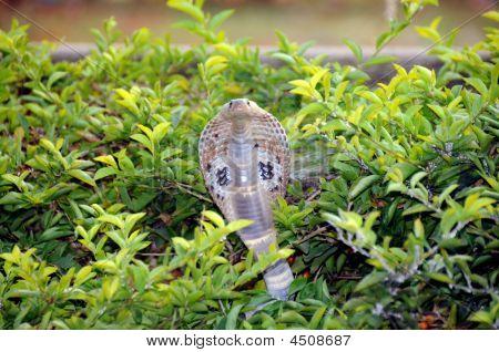 Spectacle Cobra Snake