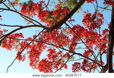 Poinciana Flowers
