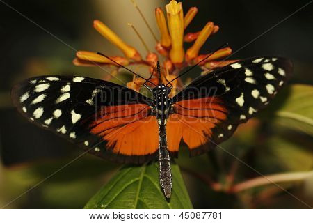 Costa Rican longwing butterfly