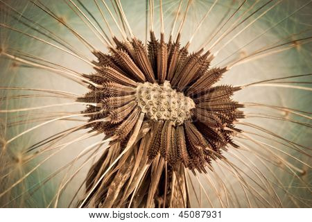 Closeup Of Dandelion