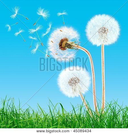 Overblown Dandelions In The Grass On The Blue Sky