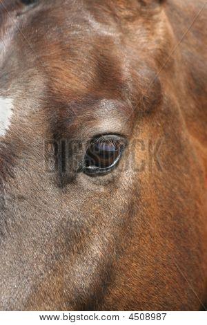 Retrato de caballo marrón