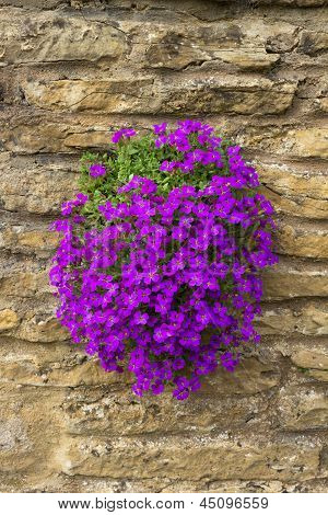 Purple Aubretia