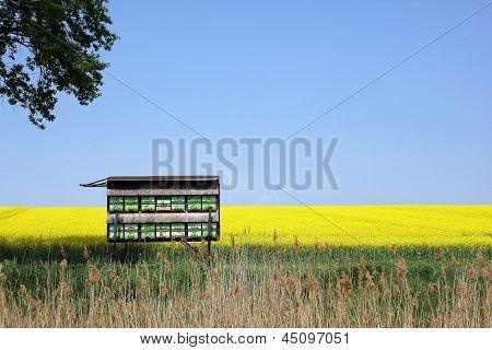 Oilseed Rape Field With Beehive