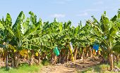 picture of bunch bananas  - Banana field with protective bags on the fruit bunches - JPG
