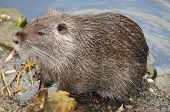 image of beaver  - This european beaver - JPG