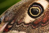 Eyespot of the Emperor Moth (Saturnia pavonia)