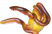 image of millipede  - Close up the group of giant millipede - JPG