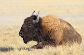 stock photo of steppes  - the adult bison has a rest in the steppe on the earth - JPG