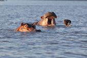stock photo of wallow  - Small group of wild hippos or hippopotamus wallowing in water one with just its eyes and top of the head visible and a second yawning - JPG