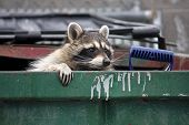 stock photo of raccoon  - raccoon climbing out of a trash dumpster