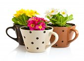 spring flowers with green leaves in pot isolated on white background